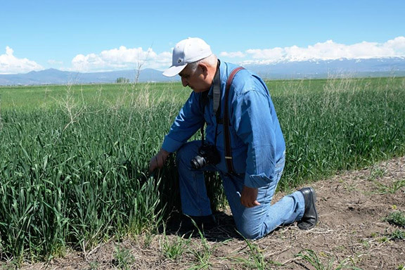 Gagik Mkrchyan, A.T.G. Foundation director in Armenia at the Arthazar wheat seed trial plot, studying characteristics of the plant prior to submitting for final inspection and registration, Spring 2019