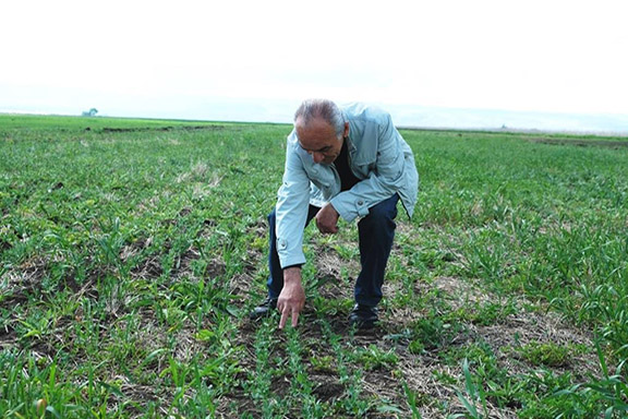 Mekhitar Grigoryan, at one of ATG trial plots, carrying on the practice, as he learned from the founding members