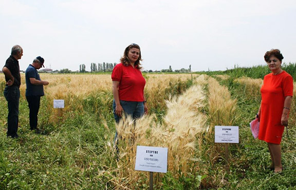 Hamlet Khachatryan of the Seed Inspection and Quality Control Service, inspecting the crop prior to harvest at A.T.G.'s Armavir fields.  A.T.G initiated and funded the Inspection Services in 2002, to ensure that a higher standard of seed would be produced and marketed to grain growers